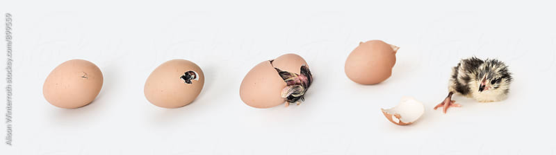 Chick Hatching From An Egg by Alison Winterroth for Stocksy United