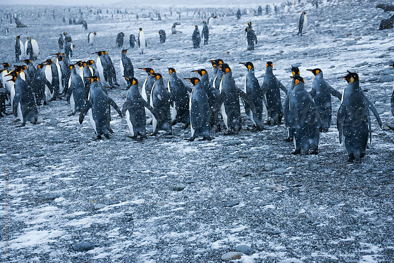 King Penguin Colony by Urs Siedentop & Co for Stocksy United