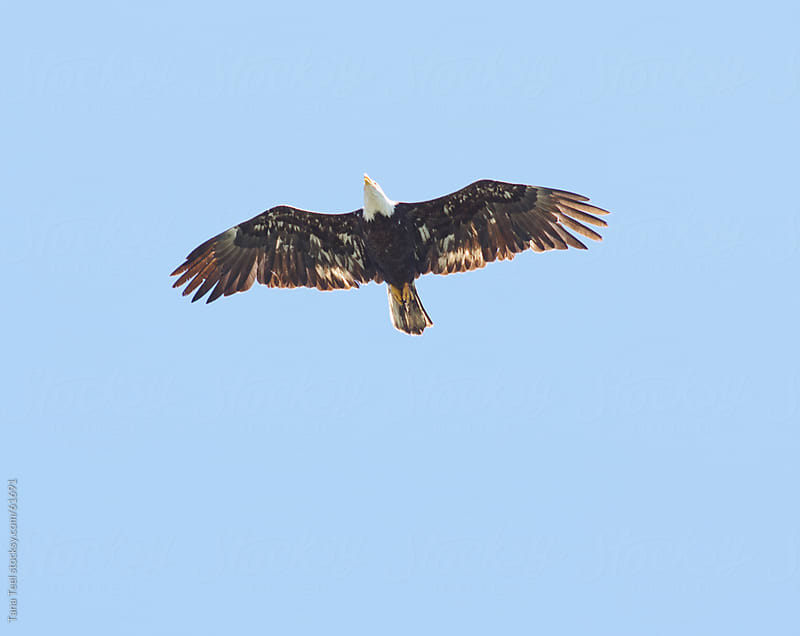 A bald eagle soars through the air above.  by Tana Teel for Stocksy United