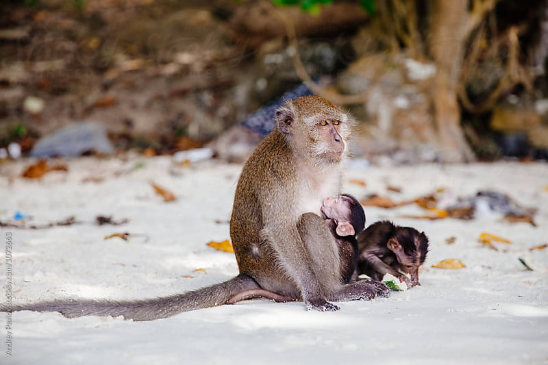 Mother monkey feeding baby on beach by Andrey Pavlov for Stocksy United