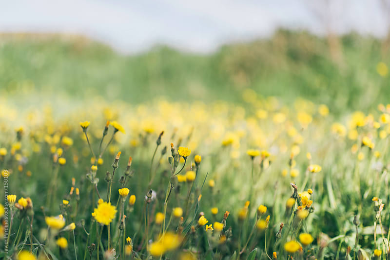 small field of yellow flowers by Javier Pardina for Stocksy United
