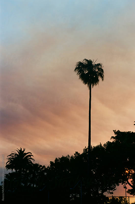Palms at sunset by Reece McMillan for Stocksy United