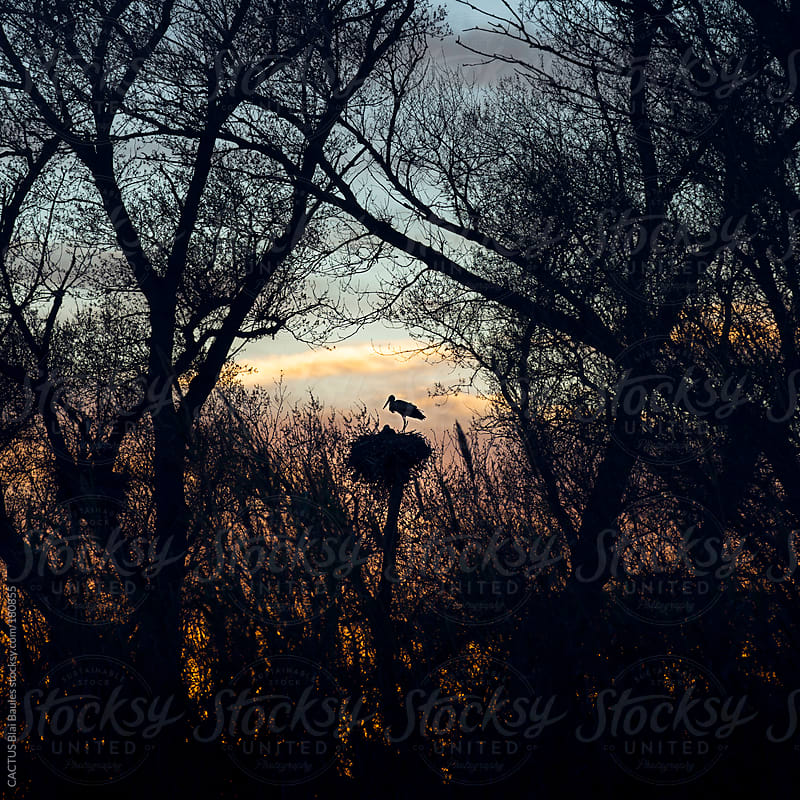 Stork's nest in the forest by CACTUS Blai Baules for Stocksy United