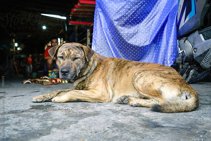 Brown Dog in Bali by Gary Radler Photography for Stocksy United