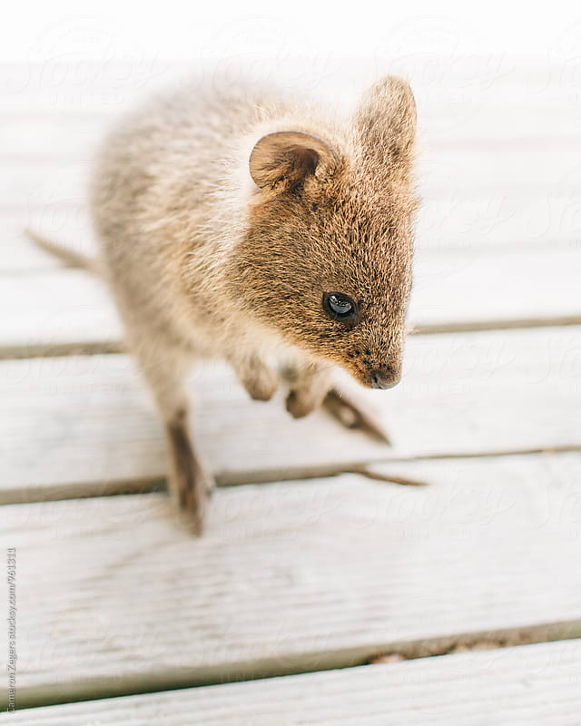 quokka on rottnest island by Cameron Zegers for Stocksy United