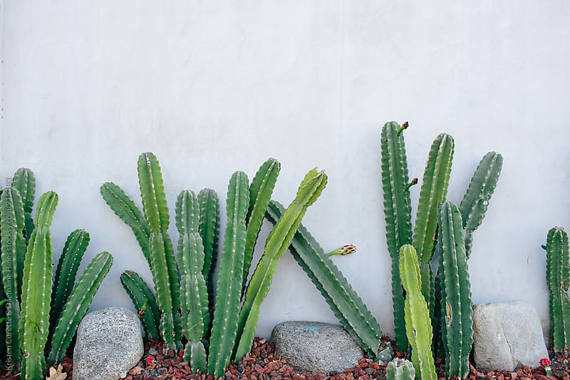 Tall green cactus planted outside by Kristen Curette Hines for Stocksy United