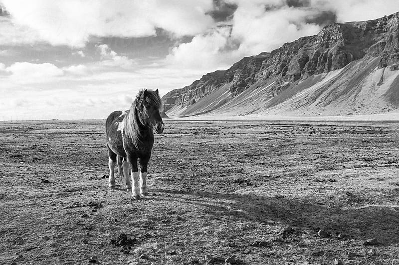 Icelandic horse on a plain by Joey Pasco for Stocksy United