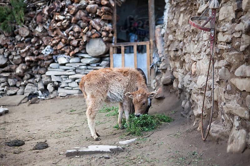 Two young calves feeding early morning. by Shikhar Bhattarai for Stocksy United