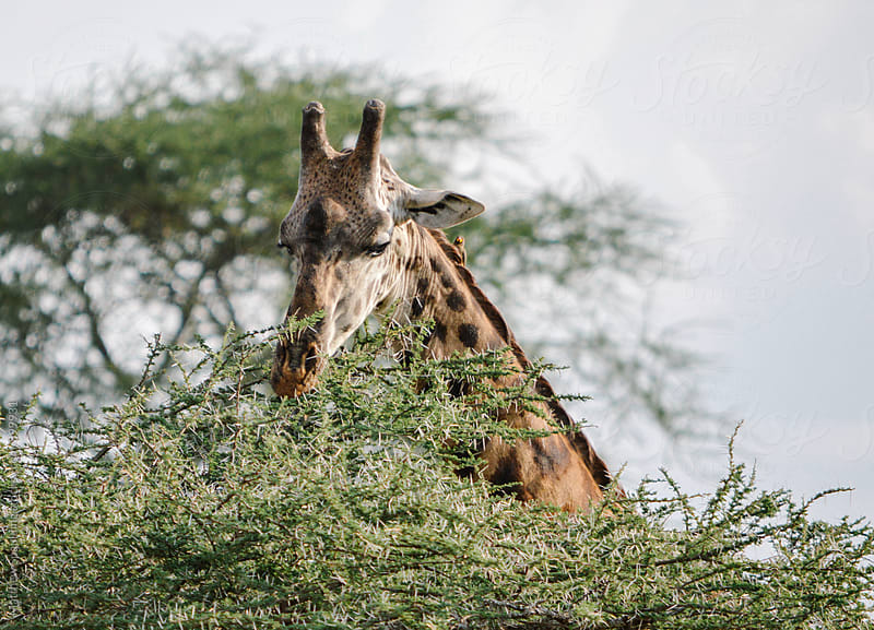 Giraffe on Africa's Serengeti National Park by Matthew Spaulding for Stocksy United