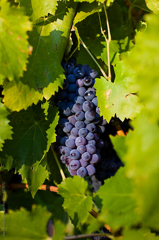Wine Grapes On Vine by Sara Remington for Stocksy United