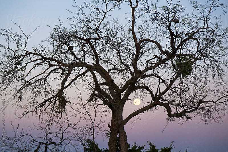 Tree, sunset and moon. by Shannon Aston for Stocksy United