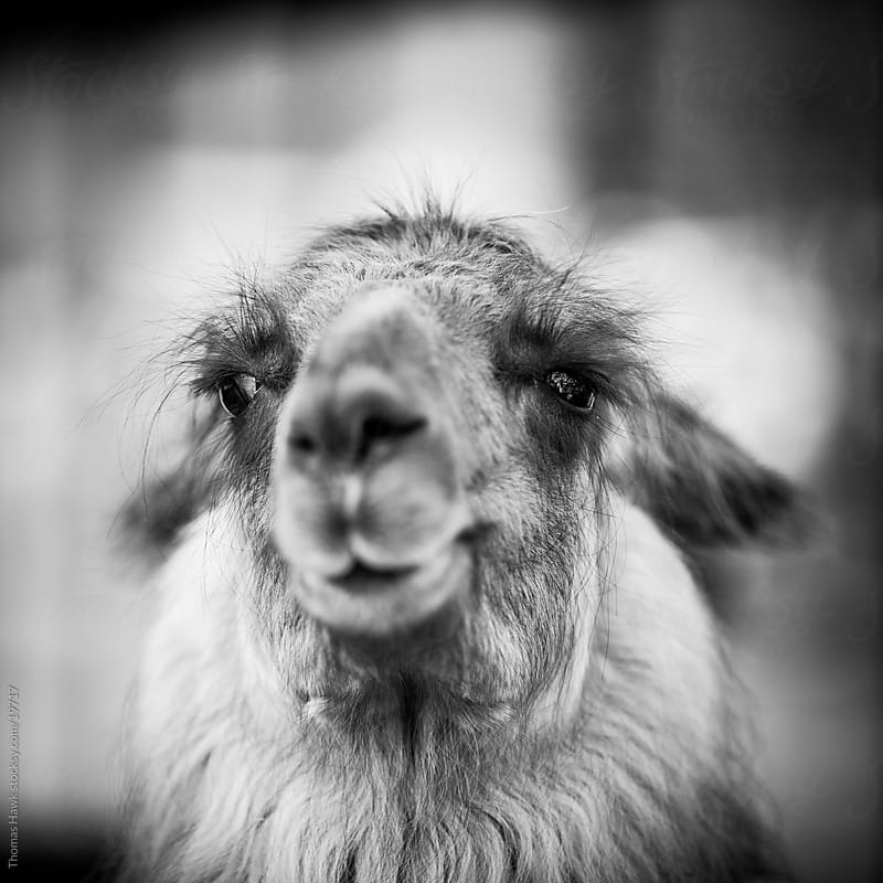llama by Thomas Hawk for Stocksy United
