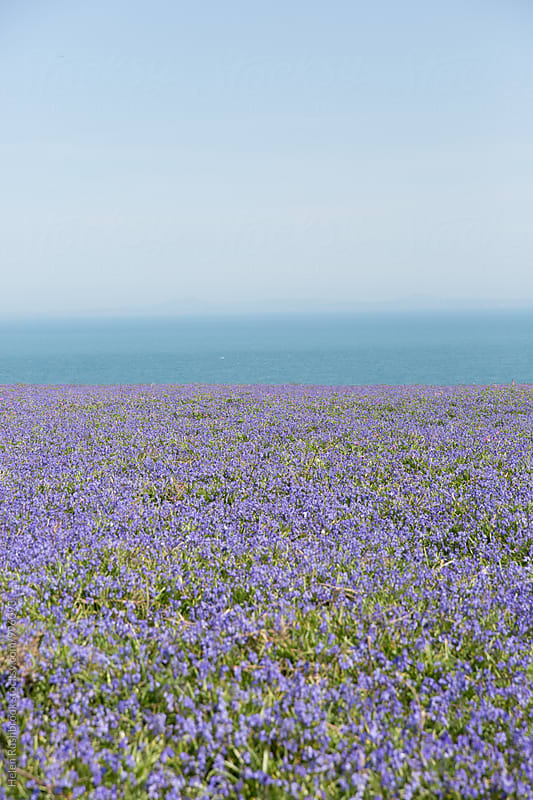A carpet of Hyacinthoides Non-Scripta on Skomer Island in Wales. by Helen Rushbrook for Stocksy United