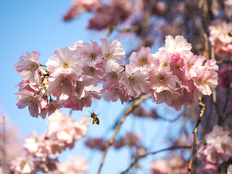 Cherry Blossom Macro with Bee by Andreas Wonisch for Stocksy United