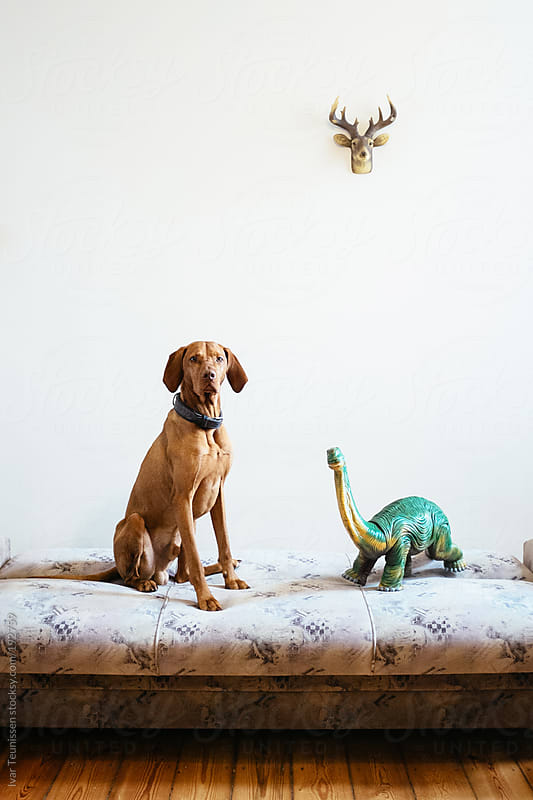 Beautiful Magyar Vizsla sitting next to toy dinosaur. by Ivar Teunissen for Stocksy United