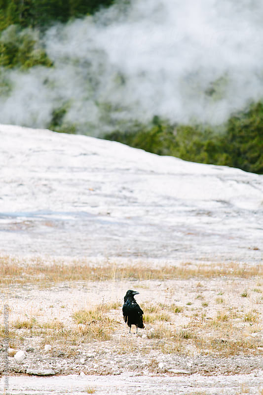 Black Raven Standing Near The Steaming Mouth Of Old Faithful In Yellowstone National Park by Luke Mattson for Stocksy United