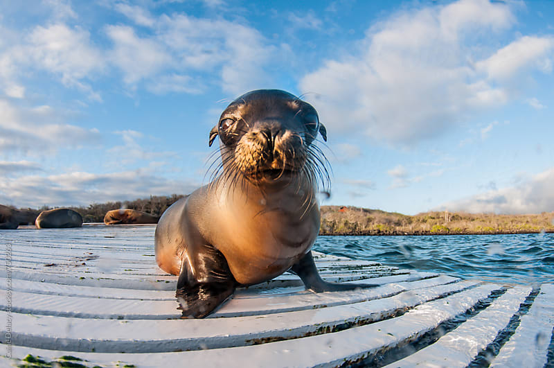 Galapagos sea lion pub on dock by Caine Delacy for Stocksy United