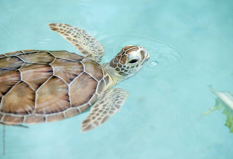 image of a baby sea turtle at a facility in Mexico by Emmanuel Hidalgo for Stocksy United