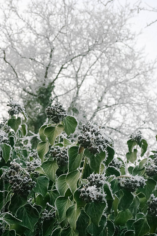 Frozen plants by Good Vibrations Images for Stocksy United