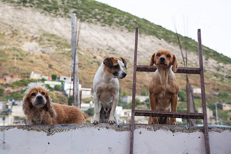 There small guard dogs on watch on a house roof in a Mexican street by Gary Parker for Stocksy United