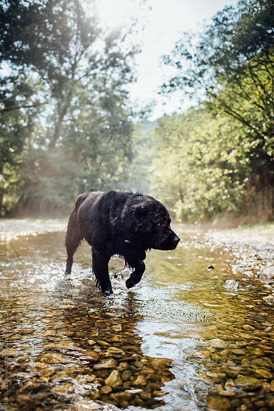 Dog crossing the river by Boris Jovanovic for Stocksy United