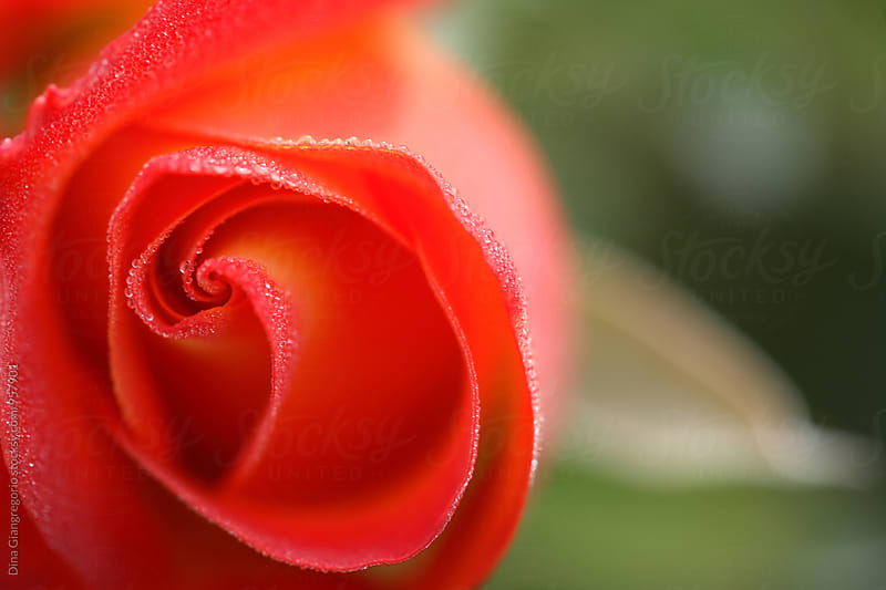 Red Rose With Water Drops  by Dina Giangregorio for Stocksy United