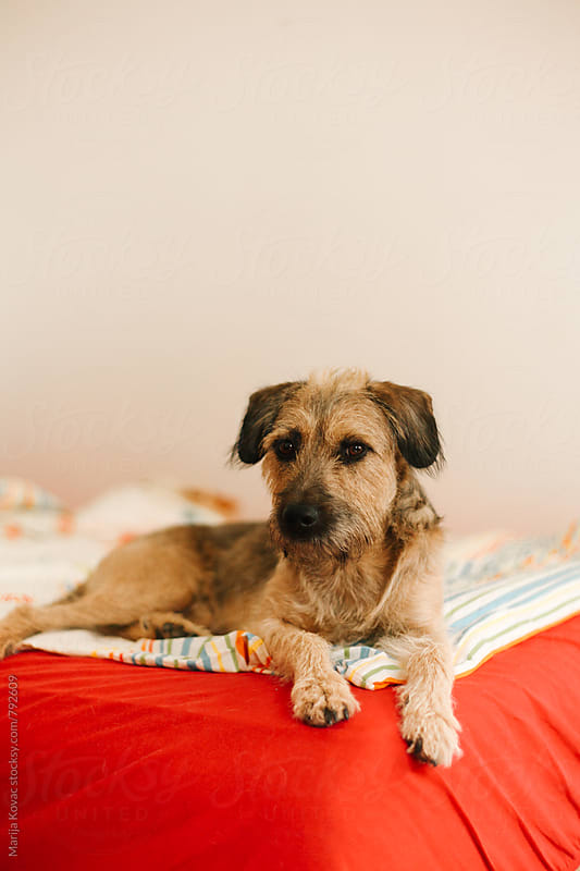 Half breed dog lying on the bed by Marija Kovac for Stocksy United