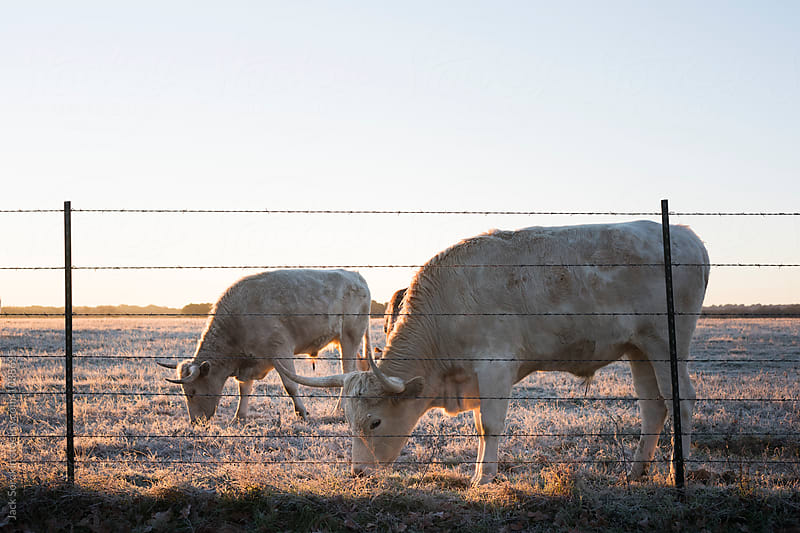 Two White Longhorn Hows Grazing at Dawn by Jack Sorokin for Stocksy United