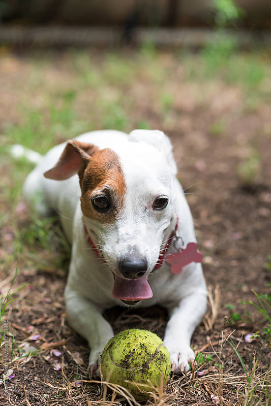 Jack Russel Terrier dog playing with a tennis ball by Luca Pierro for Stocksy United