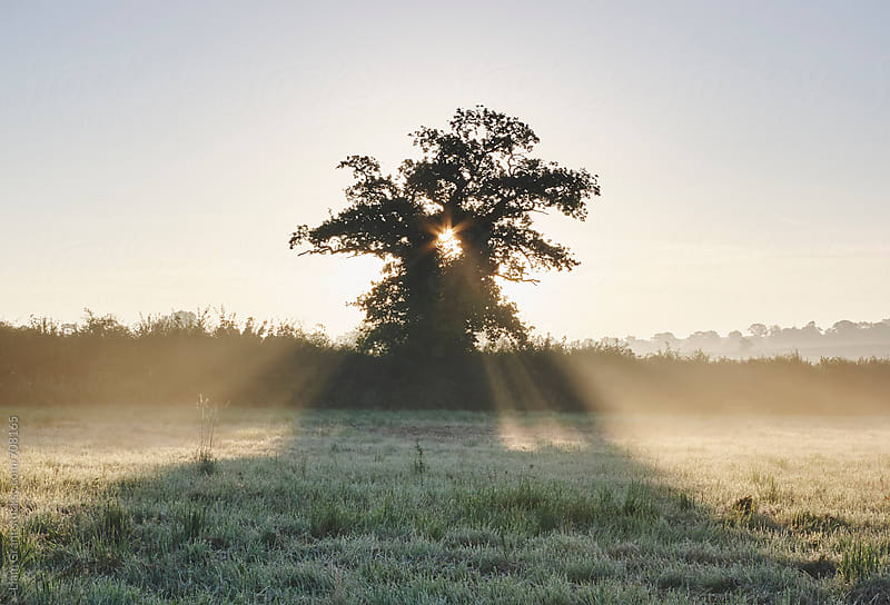 Sunrise through a tree on a misty morning. Norfolk, UK. by Liam Grant for Stocksy United