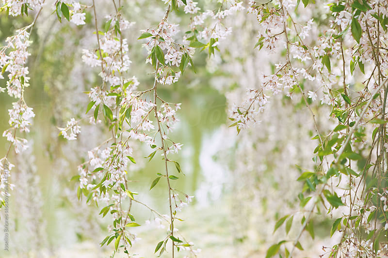 Curtain of White Cherry Blossom Flowers against Pond by Joselito Briones for Stocksy United