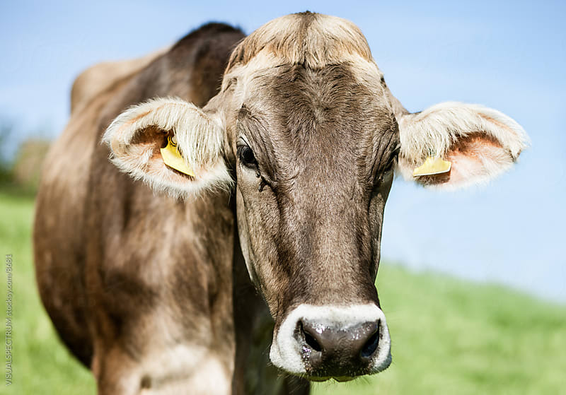 Swiss Cow by VISUALSPECTRUM for Stocksy United