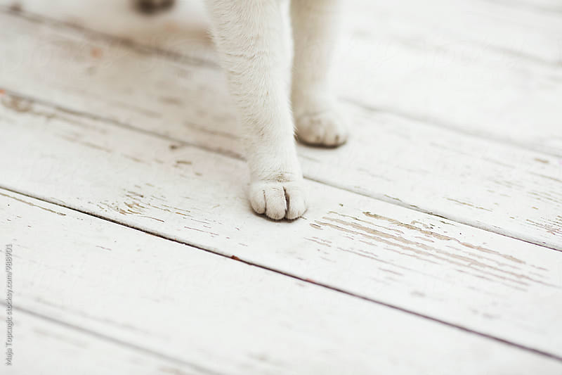 Beautiful white cat outdoors by Maja Topcagic for Stocksy United