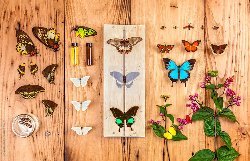 Collection of Butterflies, Insects and Moths on Display by suzanne clements for Stocksy United