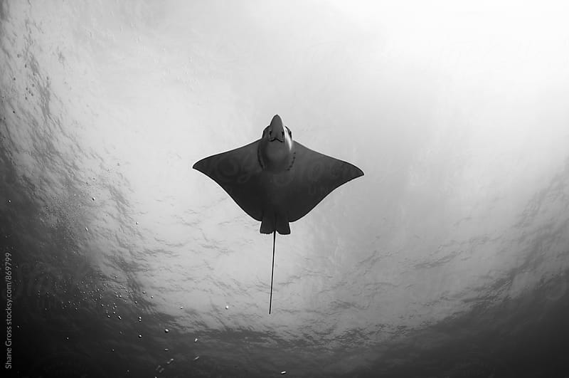 Spotted Eagle Ray Underside in Black and White by Shane Gross for Stocksy United