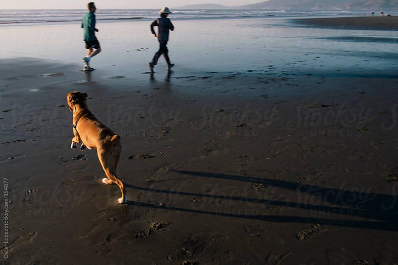 Cute boxer dog running on beach  by Oscar Lopez for Stocksy United