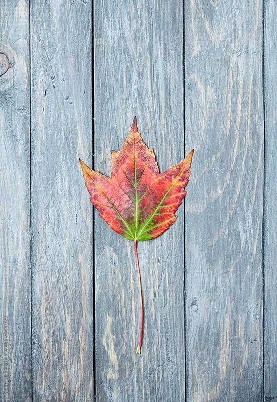 Leaves: Single Leaf Changing From Green To Red by Sean Locke for Stocksy United