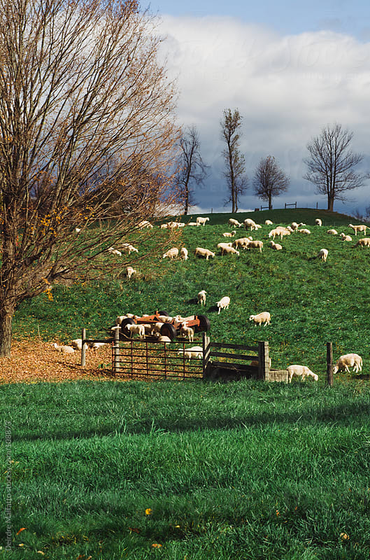 sheep grazing in a pasture on a hill by Deirdre Malfatto for Stocksy United