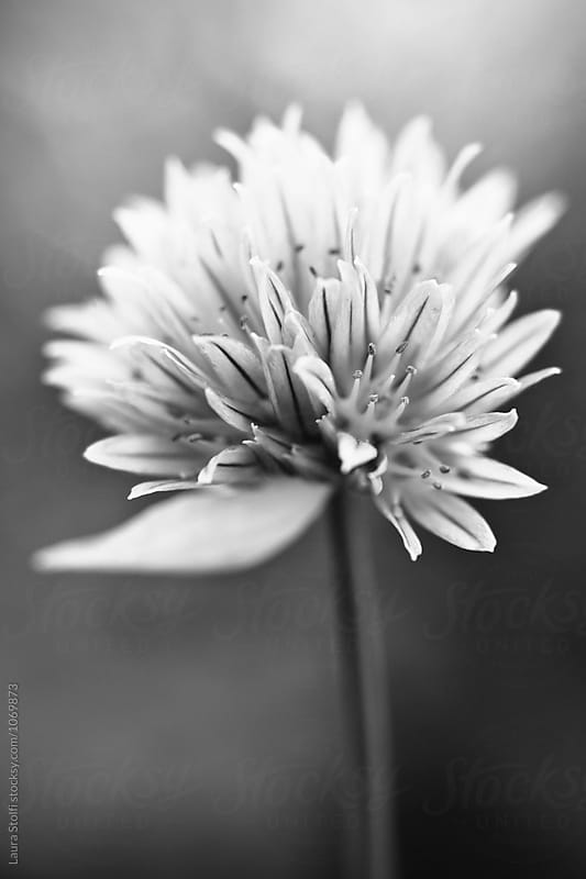 Macro of chives flower in bloom in black and white by Laura Stolfi for Stocksy United