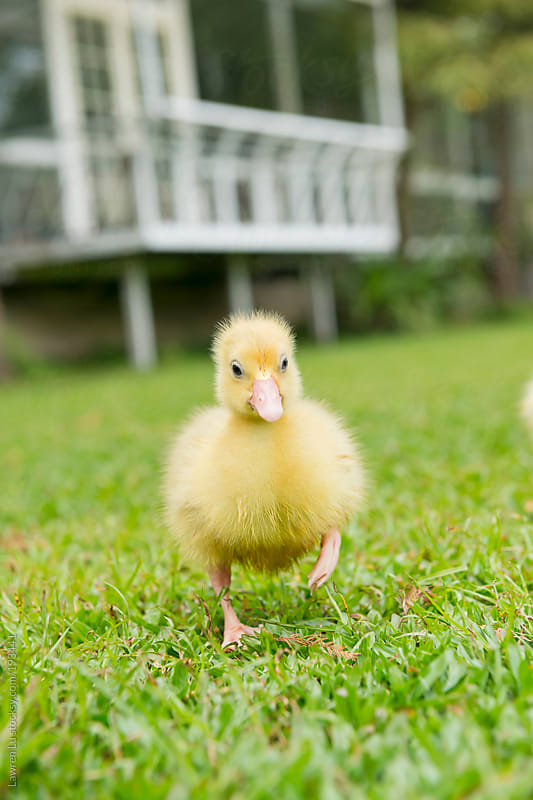 Cute gosling walking on white house background by Lawren Lu for Stocksy United