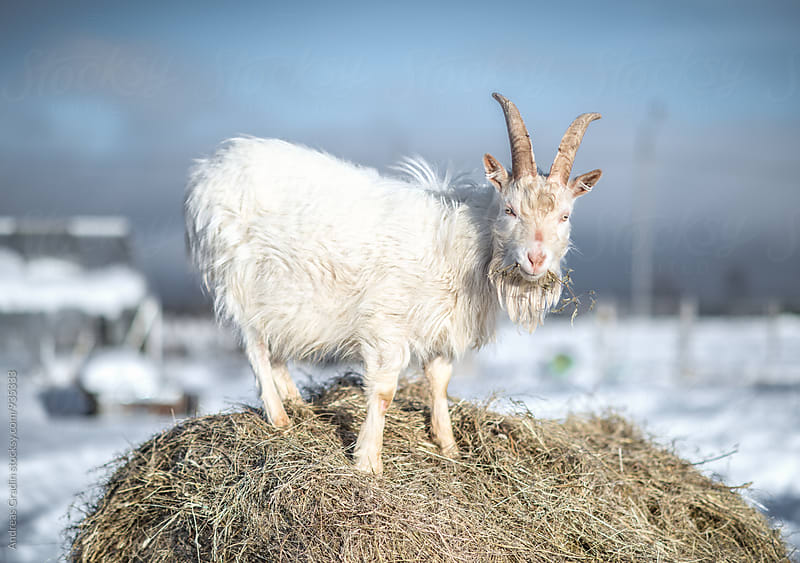 goat on a winter farm by Andreas Gradin for Stocksy United