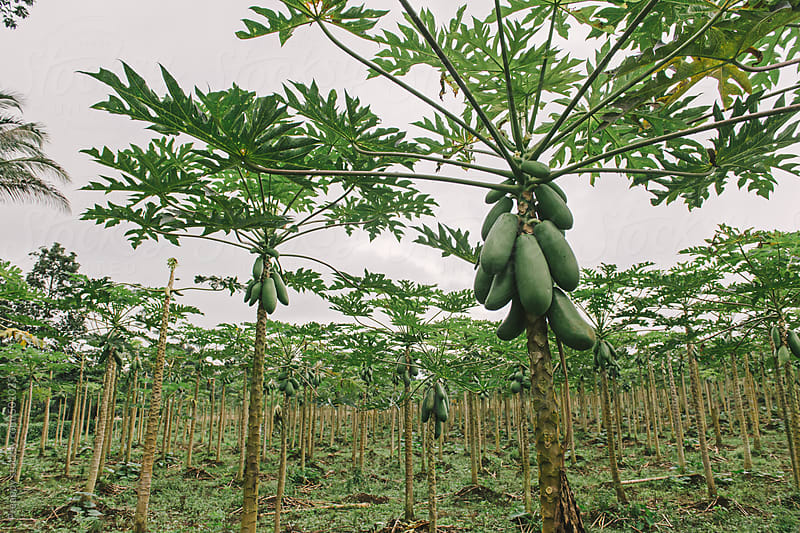 Papaya plantation by Preappy for Stocksy United