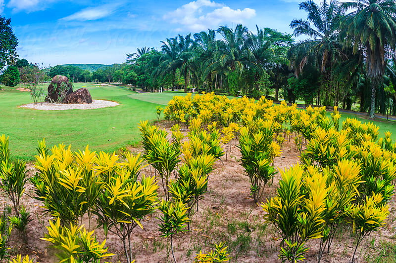 Scenic golf course with yellow flowers  in Thailand Asia by Søren Egeberg Photography for Stocksy United