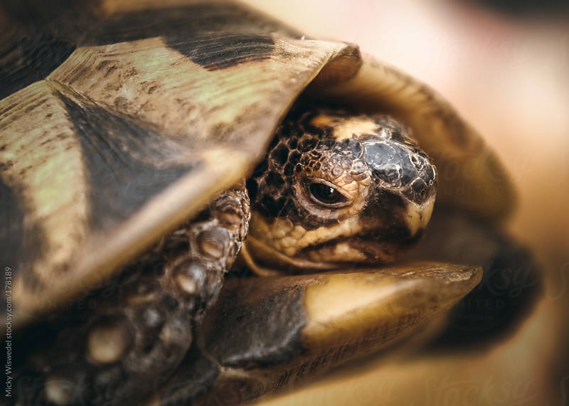 Table Mountain Angulate Tortoise closeup by Micky Wiswedel for Stocksy United