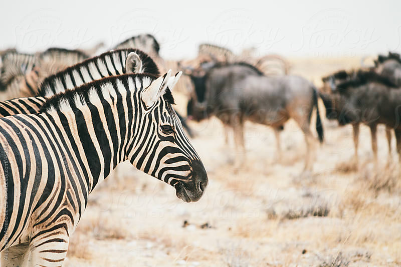 Group of zebras on African savanna with some wildebeest on the background by Alejandro Moreno de Carlos for Stocksy United