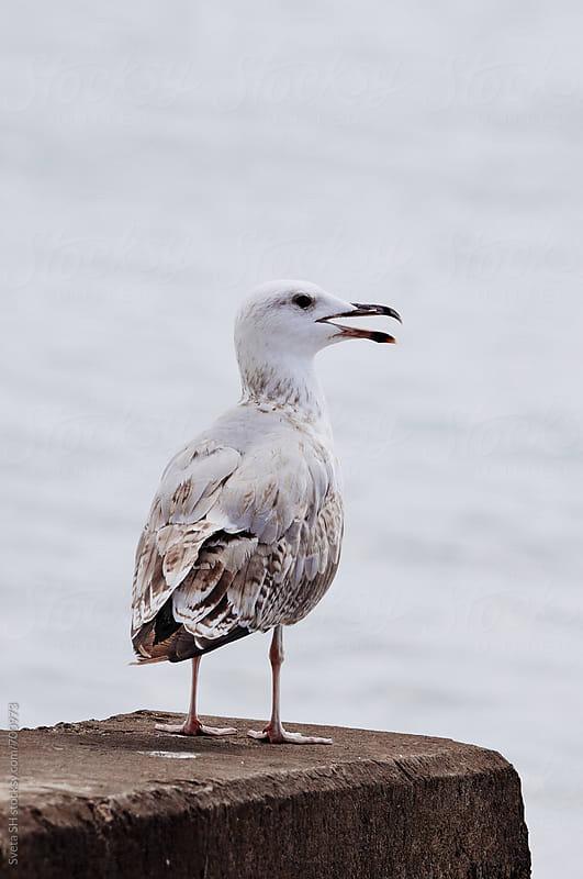 Seagull by Sveta SH for Stocksy United