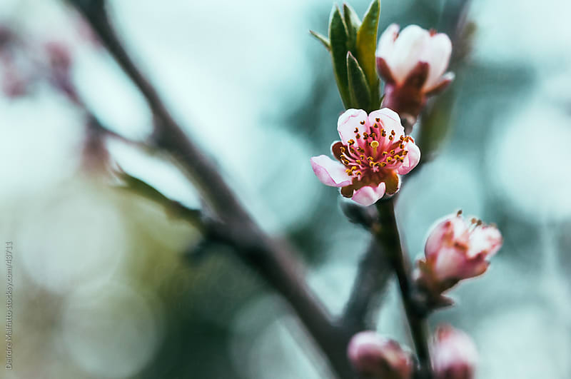 Peach blossoms on a branch with blurred background by Deirdre Malfatto for Stocksy United