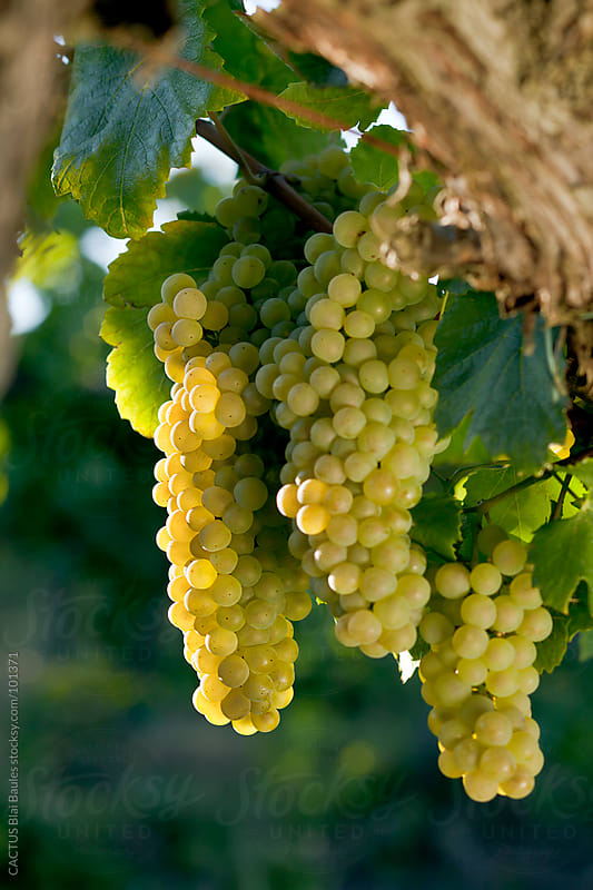 White grapes in autumn by CACTUS Blai Baules for Stocksy United