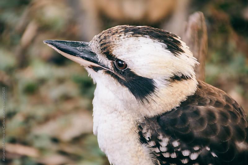 Kookaburra bird close up (genus Dacelo) Australia wildlife by Alejandro Moreno de Carlos for Stocksy United