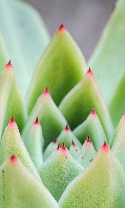 Macro of echeveria succulent by Marcel for Stocksy United